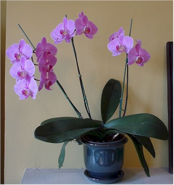 Phalaenopsis in flower