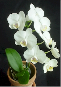 orcihd I phalaenopsis amabilis in bloom