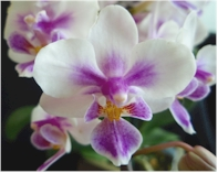 phal brother spring